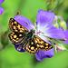 Schmetterling auf Storchenschnabel