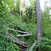 Bäume-Mikado in der Nordflanke vom Rauschberg