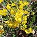 Gelbes Blumengewächs
