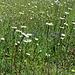 Nach der Waldzone schöne Blumenwiesen