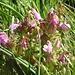 Wald-Läusekraut (Pedicularis sylvatica)