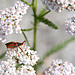Insekt auf Schafgarbe