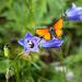 Orange, blau, grün. Glockenblume (Campanula scheuchzeri??). Dukatenfalter.