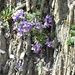 Alpen Leinkraut (Linaria alpina)