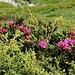 Die Alpenrosen blühen schon im unteren Teil.