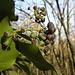 Fruchtstände vom Efeu (Hedera helix)