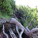 wurzelige Latschengasse, die nach dem Regen teilweise schmierig war