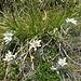 Edelweisse am Cima dei Rossi Südgrat kurz oberhalb vom Pass.