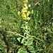 Verbascum lichnitis L. <br />Scrophulariaceae<br /><br />Verbasco licnite<br />Molène lychnite<br />Lanpen-Wolkraut, Lampen- Königkerze, Mehlige Königkerze
