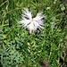 Dianthus hyssopifolius L.<br />Caryophillaceae<br /><br />Garofano di bosco, Garofano di Montpellier<br />Oeillet de Montpellier<br />Montpellier-Nelke, Ysop-Nelke
