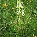 Platanthera bifolia (L.) Rich.<br />Orchidaceae<br /><br />Platantera comune<br />Platanthère à fleurs blanches, Platanthère à deux feulles<br />Zweiblättriges Breitkölbchen, Weisses Breitkölbchen, Weisse Waldhyazynthe