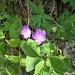 Geranium sylvaticum L.<br />Geraniaceae<br /><br />Geranio silvano<br />Géranium des bois<br />Wald-Storchschnabel