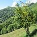 Laburnum alpinum (Mill.) Bercht. & J.Presl<br />Fabaceae<br /><br />Maggiociondolo di montagna<br />Aubour des Alpes<br />Alpen-Goldregen