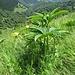 Helleborus viridis L.<br />Ranuncolaceae<br /><br />Elleboro verde<br />Hellébore vert<br />Grüne Nieswurz