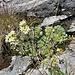 Saxifraga paniculata Mill.<br />Saxifragaceae<br /><br />Sassifraga alpina<br />Saxifrage paniculée<br />Trauben-Steinbrech, Immergrüner-Steinbrech