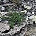 Athamanta cretensis L.<br />Apiaceae<br /><br />Atamanta comune<br />Athamante de Crète<br />Augenwurz