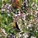 Melitaea athalia<br />Nymphalidae<br /><br />Atalia<br />Mélitée du mélampyre<br />Wachtelweizen-Scheckenfalter
