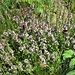 Thymus serpyllum aggr.<br />Lamiaceae<br /><br />Timo comune<br />Thym serpolet<br />Feld-Thyuman, Quendel, Chölm