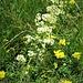 Galium album Mill.<br />Rubiaceae<br /><br />Caglio bianco<br />Gaillet blanc<br />Weisses Wiesen-Labkraut