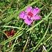 Geranium sanguineum L.<br />Geraniaceae<br /><br />Geranio sanguigno<br />G*ranium sanguin<br />Blutroter Storchschnabel