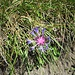 Centaurea triunfetti All.Asteraceae<br /><br />Fiordaliso di Triunfetti<br />Centaurée de Trionfetti<br />Trionfettis Flockenblume