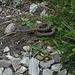 Nachdem sich das Wetter am Nachmittag bessert, möchte auch die Kreuzotter etwas Sonne abhaben. Leider auf dem Wanderweg. Die Schlange war nicht begeistert, hat sich dann aber dann recht schnell verzogen.
