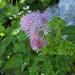 Akeleiblättrige Wiesenraute: hat eine äusserst feingliedrige rosa-lila Blüte
