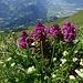 Quirlblättriges Läusekraut, im Vordergrund Alpen-Labkraut