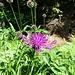 Alpenflockenblume