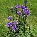 Büschel-Glockenblume