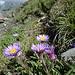 Alpen-Astern am Gipfel des Vilan