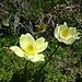 Schwefelanemone oder Gelbe Alpen-Kuhschelle