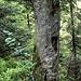 Das Gebiet des Hohen Ochsenkopfs ist schon länger Bannwald und entsprechend wild und urwüchsig schaut's hier aus.