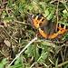 Wohl einer der letzten Schmetterlinge, die ich in diesem Jahr noch zu sehen bekomme...