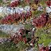 Kolonie von Berg-Hauswurzen (Sempervivum montanum) auf dem P.2438m beim Fleschsee.