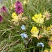 Echter Wundklee<br />(Anthyllis vulneraria L.)