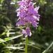 Eine Orchideenart?<br />edit: vermutlich Helm-Knabenkraut (Orchis militaris)