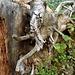 Mastodonis Wurzulis alpinum