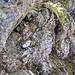 Hier gehts wieder zurück auf den Grat. So wird der Felskopf auf [http://www.hikr.org/gallery/photo318129.html?post_id=25311#1 diesem] Bild umgangen