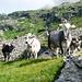 Am Aufstieg zum Passo Fornale - enthusiastischer Empfang auf Alpe Piatto