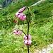 Aufstieg zum Rifugio Alpe Barone - Türkenbundlilie