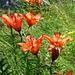Bocc della Campala - Feuerlilien vor dem Abgrund