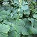 Aconitum lycoctonum L. <br />Ranunculaceae<br /><br />Aconito giallo <br />Aconit tue-loup<br />Gelber Eisenhut, Wolfswurz