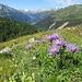Aster alpinus L. <br />Asteraceae<br /><br />Astro alpino<br />Aster des Alpes <br />Alpen-Aster
