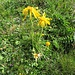 Arnica montana L.<br />Asteraceae<br /><br />Arnica<br />Arnica<br />Arnika, Wohlverleih