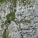 """Im Abstieg Richtung Brüggli lässt sich ein seilgesichertes Grätli er- und übersteigen (Zuestoll-Vorgipfel). Dank dem Fotograf wirkt die """"Wand"""" direkt steil .... ;-)"""