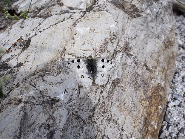 Ein Apollo-Falter sonnt sich auf einem warmen Stein, gut getarnt