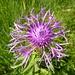 "Wiesen Flockenblume ""centaurea jacea"""