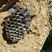 Wespen und ihr Nest
