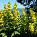 Gilbweiderich, Blütenpracht neben dem Weg